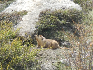 A cheeky looking marmot on the way to the Larky La Pass (5130m)
